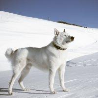 Снежный пес :: Валентина Ломакина