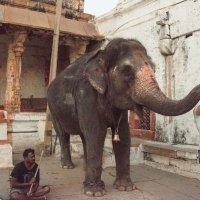 Слониха, благословляющая паломников в храме Вирупакши :: Виктор Куприянов