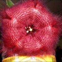 Вот такой кактус у нас зацвел летом :: Татьяна Пальчикова