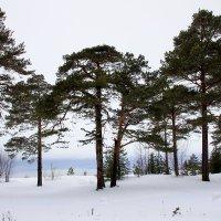 Сосновый бор на о.Ягры на берегу Белого моря :: Светлана Ку