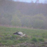 Аист кормится на вспаханном поле :: Алексей Корнеев