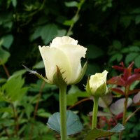 розы :: Ирина Холодная