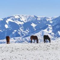 На горном зимнем пастбище :: Сергей Рычков
