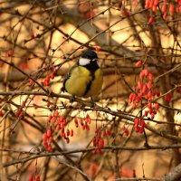 в барбарисе) :: linnud