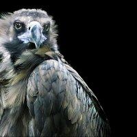 Грозный птиц :: Татьяна Кадочникова