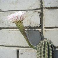 Кактус цветет :: Булаткина Светлана