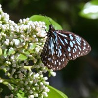 Голубой Тигр (Tirumala septentrionis) :: Антонина