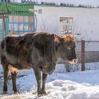 Корова адыгейская... очень стильная... :: Юлия Бабитко