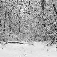 Лес зимой.. :: Юрий Стародубцев