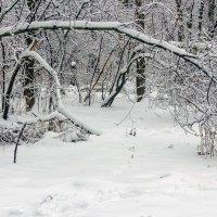 Под натиском снега.. :: Юрий Стародубцев