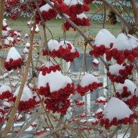 Снежные гроздья калины :: Стас Борискин (Stanisbor)