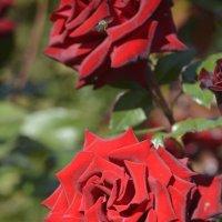 розы в саду :: Алексей Безуглов