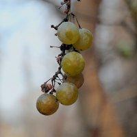 Виноград :: Стас
