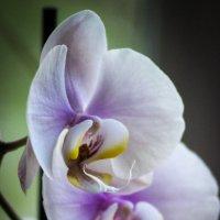 Орхидеи прекрасны :: Татьяна Пилипушко