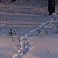 След лесного зверя. :: Андрей