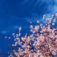 7 февраля, в Ташкенте цветет миндаль :: Светлана