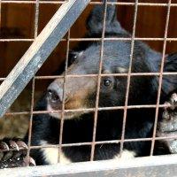 Гималайский медвежонок Мотя :: Виктория Титова