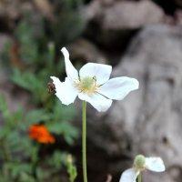 Один цветок :: varona Гасымова