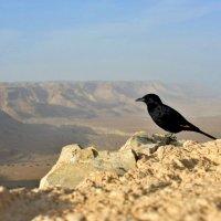 Черная птица в Иудейской пустыне в Израиле :: Daria Egorova