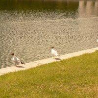 Чайки у пруда :: Полина Потапова