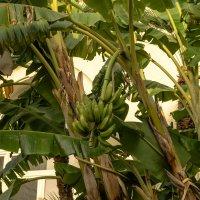 Банановое дерево :: Witalij Loewin