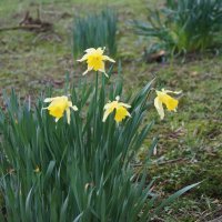 Символ Уэльса жёлтый нарцисс :: Natalia Harries