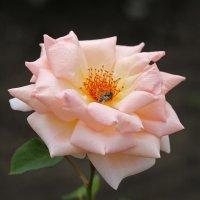 Розовая нежность :: Нилла Шарафан