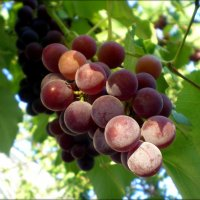 Виноград :: Татьяна Пальчикова