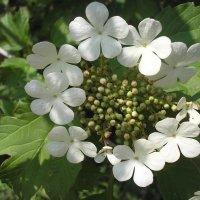 Калина цветет :: Булаткина Светлана