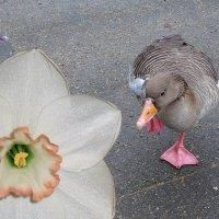 Ой! Этот, кажется, из весны! :) Фотосессия одного гусика (серия) :: Nina Yudicheva
