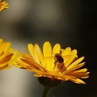 Цветок и пчёлка, день чудесный! :: Владимир Гилясев