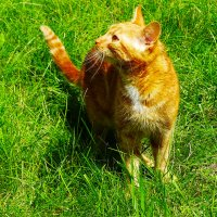 Рыжий мой кот :: Юрий Плющев