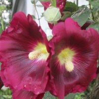 Цветы :: irine kolesova