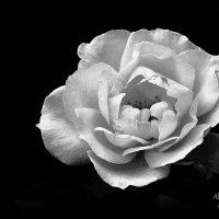 Роза :: Tasha