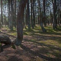 хвойный лес :: Marina Torgashova