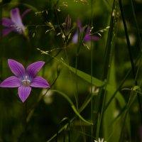 Лесные цветы :: Ольга Козинец
