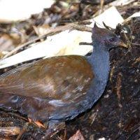 Фото 2 Птица Мегапод.(для ясности см. все 5 фото подряд) :: Антонина