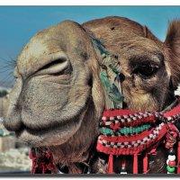 Портрет иерусалимского верблюда. :: Leonid Korenfeld