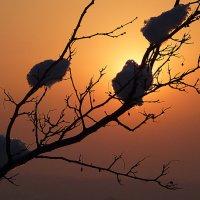 Ветки со снегом. На закате солнца. Алма-Ата, Каменское плато. :: Асылбек Айманов