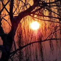Солнце сквозь ветки березы :: Асылбек Айманов