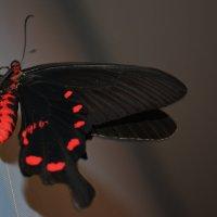 Бабочка :: Екатерина криничева