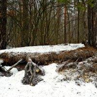 Оголённые корни, как оголённые нервы! :: Михаил Столяров