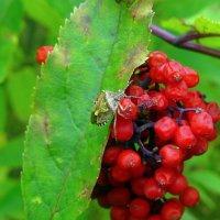 клоп на ягодах :: Александр Прокудин