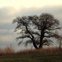 Старое дерево.. :: Эдвард Фогель