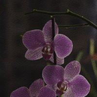 Орхидея :: Анна Кокарева