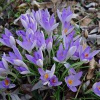 Красивы первые весенние цветы.... :: Galina Dzubina