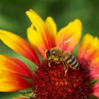 Пчелка :: Ольга Сельницына