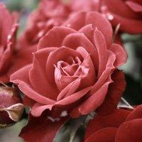 Розы :: Владлена Шатихина