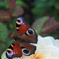 Бабочеа :: Владлена Шатихина