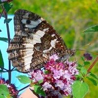 Бабочка на Душице :: Виктор Шандыбин